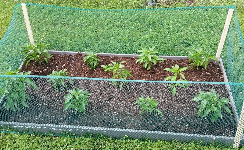 tomato plant tip 20170612