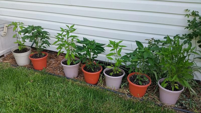 tomato plant tip 20170710