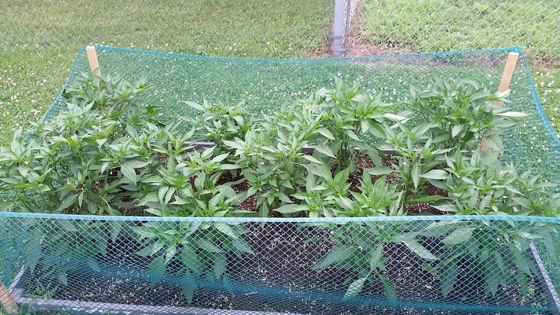 tomato plant tip 20170713