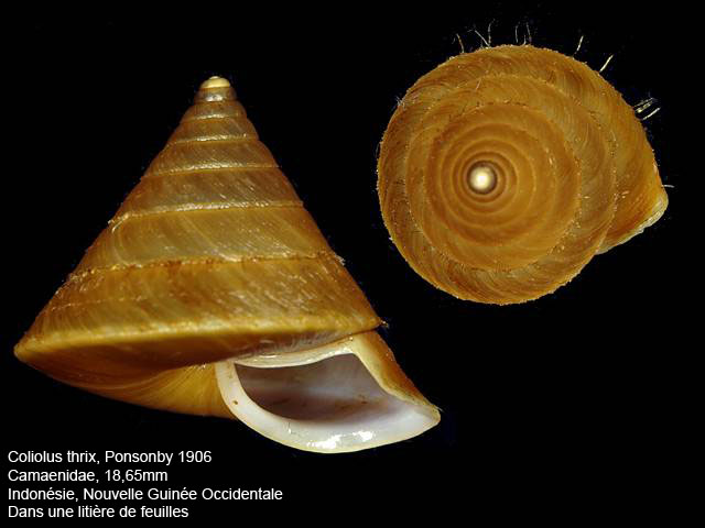 Coliolus thrix (Ponsonby, 1906) Coliol10