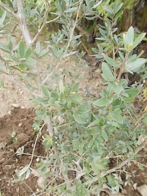 Leptospermum 'Silver Sheen' [identification] Jezabe10