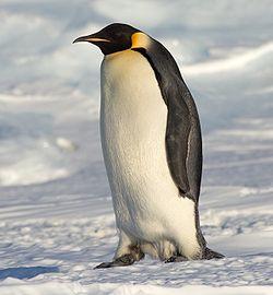 Dessine moi un pingouin ! - Page 2 Duckj10