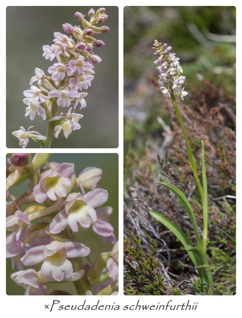 Gymnadenia conopsea x Pseudorchis albida Cats410