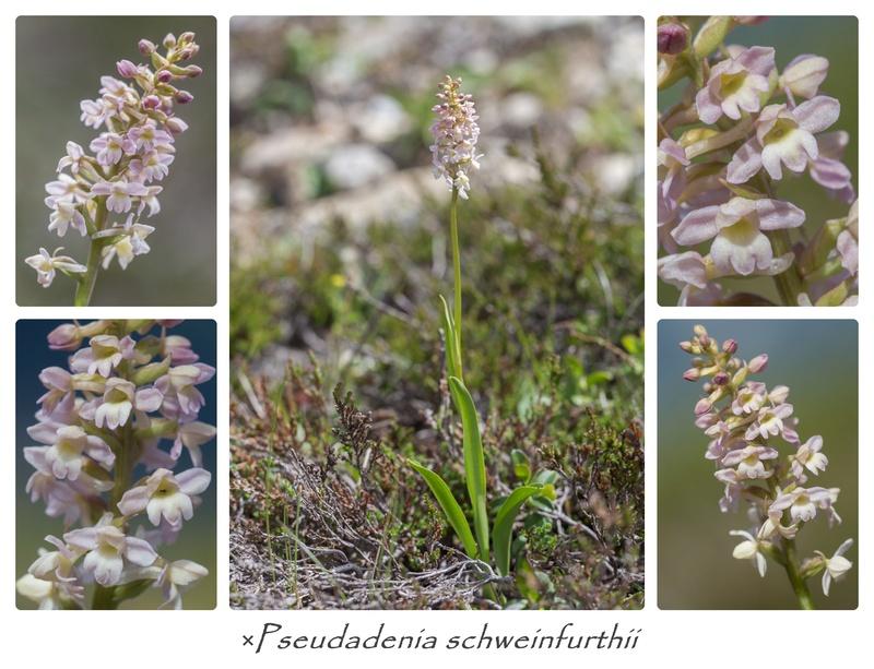 Gymnadenia conopsea x Pseudorchis albida Cats_211
