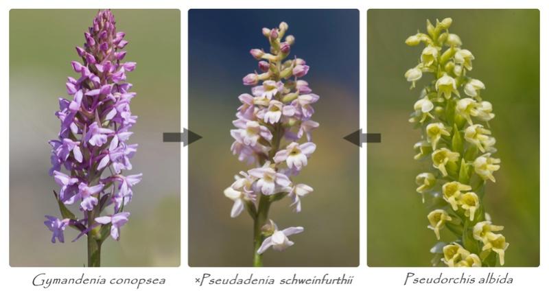 Gymnadenia conopsea x Pseudorchis albida Hybrid11
