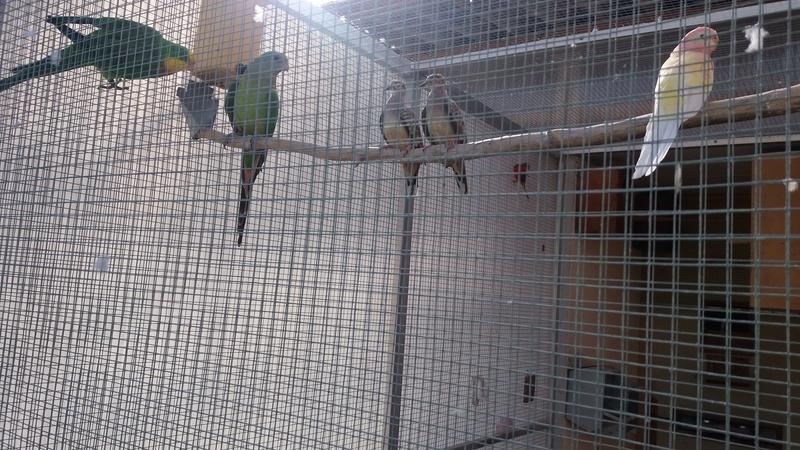 Mode de vie des colombes Céciles Mes_co11