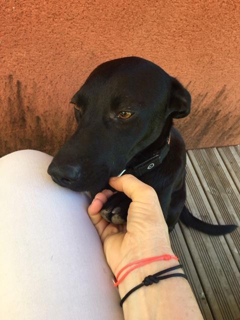 NESSA, maman typée labrador noire de 18 mois (13.5kg) - marrainée par Harfeng Img_6215