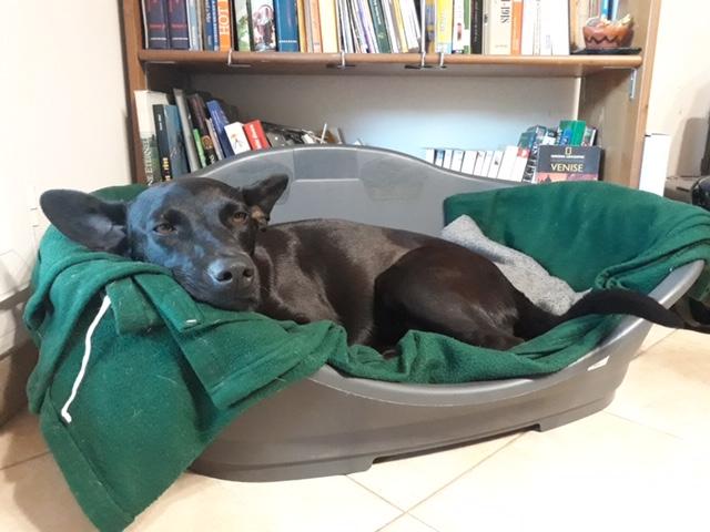 NESSA, maman typée labrador noire de 18 mois (13.5kg) - marrainée par Harfeng Img_7214