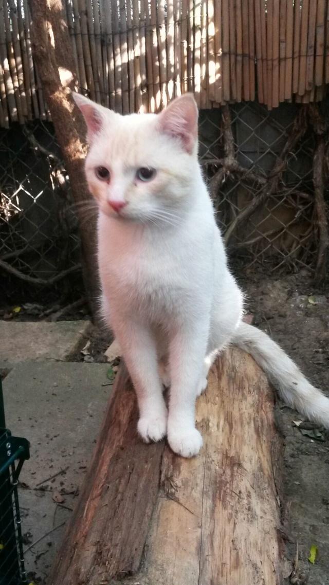 Trouvé chat blanc et beige Avenue Edouard Serres à Colomiers Img-2023