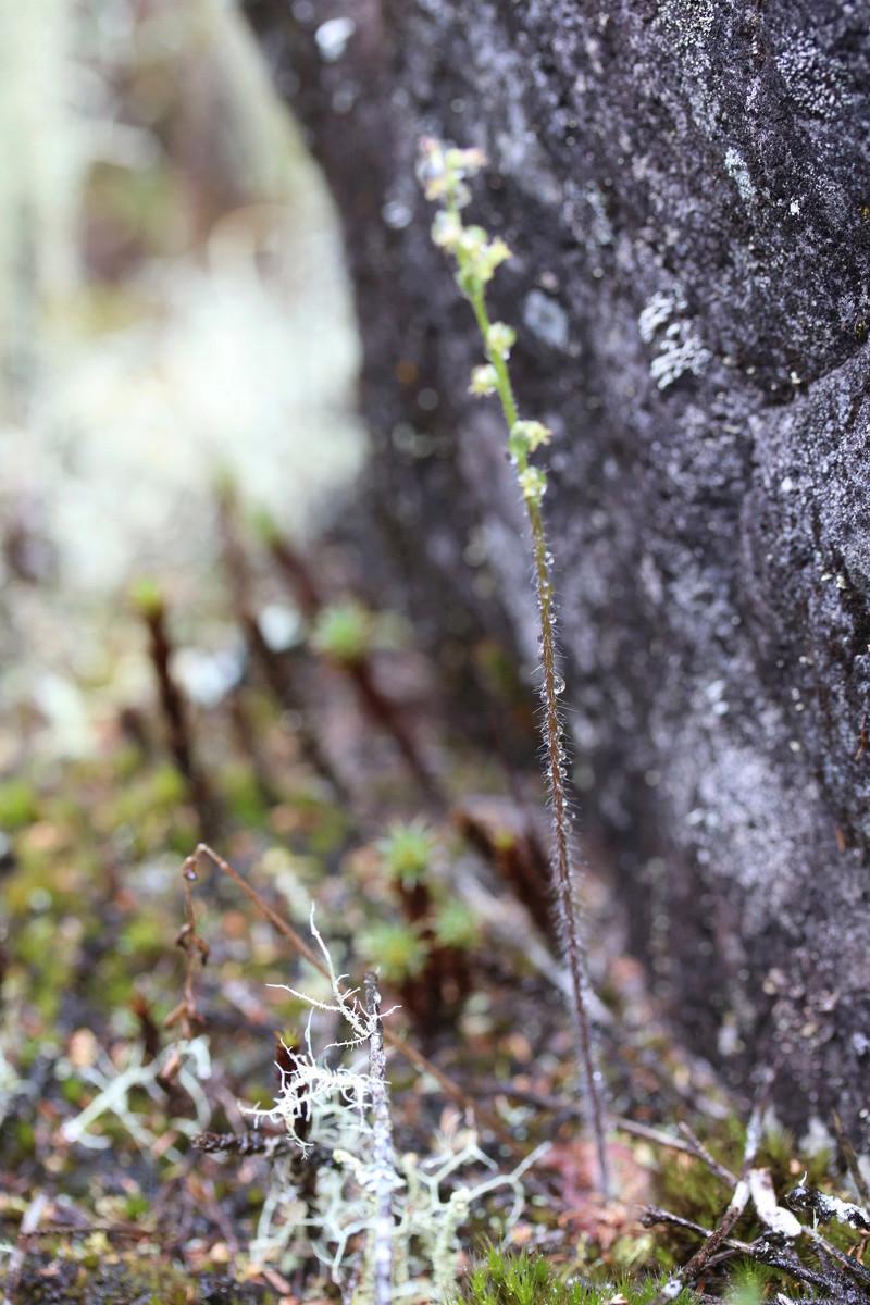 holothrix villosa: la poillue! Img_1224