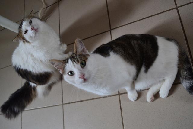 DIXIE - Tabby et Blanche - Née le 23/04/2015 - En FA dans le 80 Dsc_0115