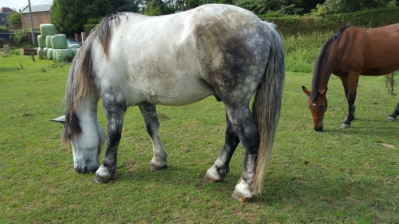 (60) ATHOS - Hongre Trait Percheron né en 2010 -  A ADOPTER (306 € + don libre) 20170814