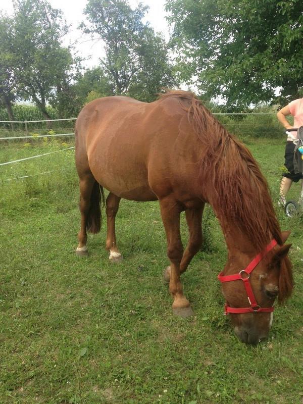HOUBLI - OI poney né en 1995 - adopté en mai 2014 par Gaëlle Houbli12