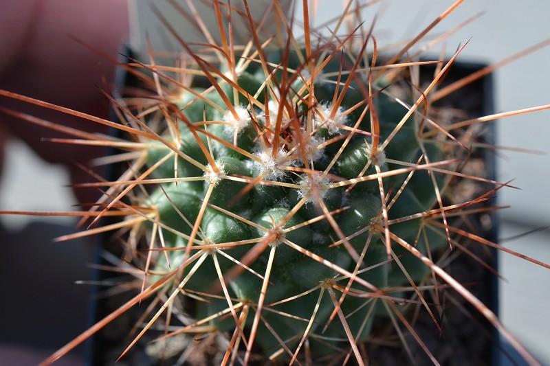 Mammillaria apozolensis var. saltensis Apozol13
