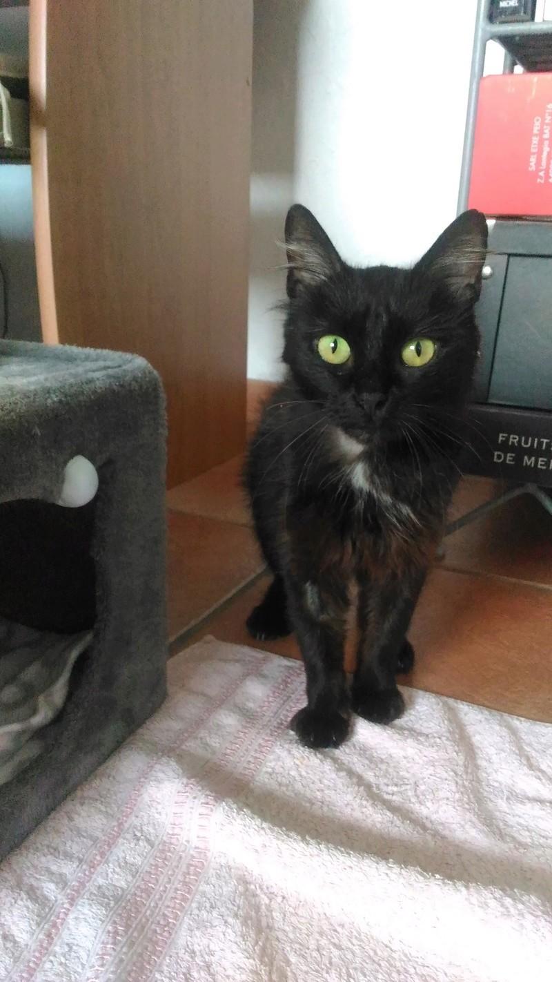Perdue chatte noire médaillon blanc poils mi-longs Colomiers P_201737