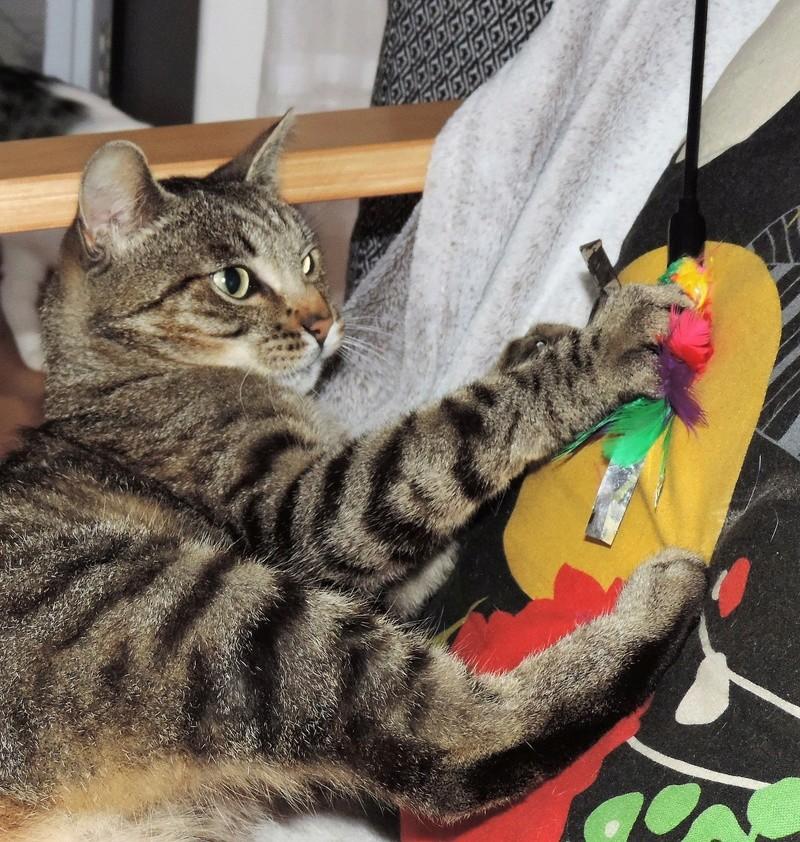 Léto, gentil chat mâle type européen, tigré, né en juin 2015 Dscn6111