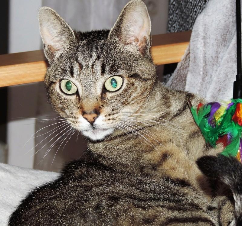 Léto, gentil chat mâle type européen, tigré, né en juin 2015 Dscn6112