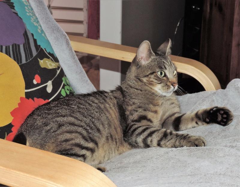 Léto, gentil chat mâle type européen, tigré, né en juin 2015 Dscn6214