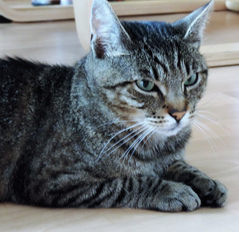 Léto, gentil chat mâle type européen, tigré, né en juin 2015 Dscn6215