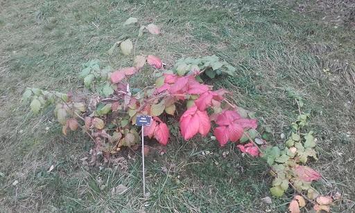 Rubus - le genre - culture, questions... - Page 2 20161010