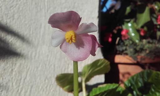Begonia chitoensis 20161013