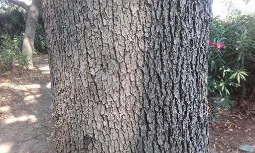Cinnamomum camphora - camphrier - Page 3 20170619