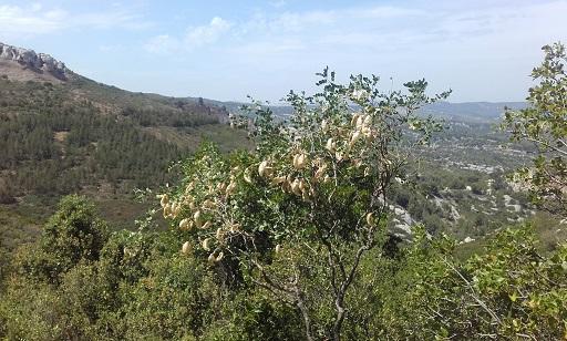 Colutea arborescens - baguenaudier 20170620
