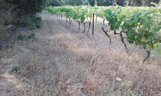 Trifolium arvense - trèfle des champs 20170625