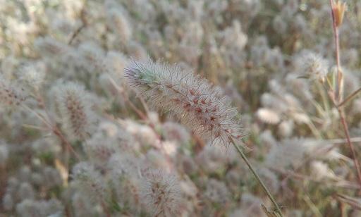 Trifolium arvense - trèfle des champs 20170628