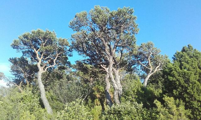 Pinus sylvestris - pin sylvestre - Page 2 20170718