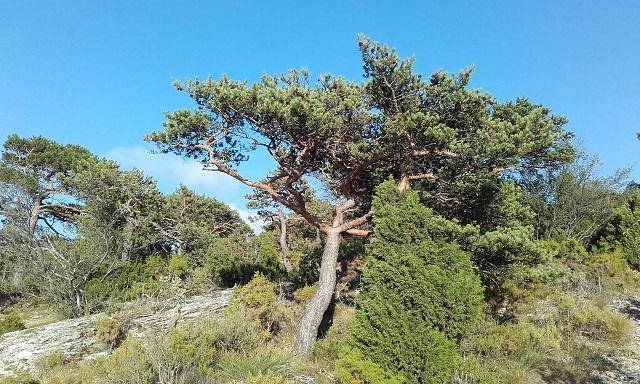 Pinus sylvestris - pin sylvestre - Page 2 20170719