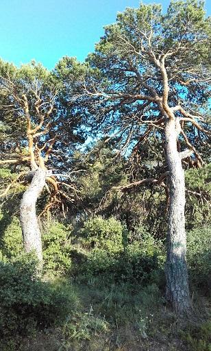 Pinus sylvestris - pin sylvestre - Page 2 20170720