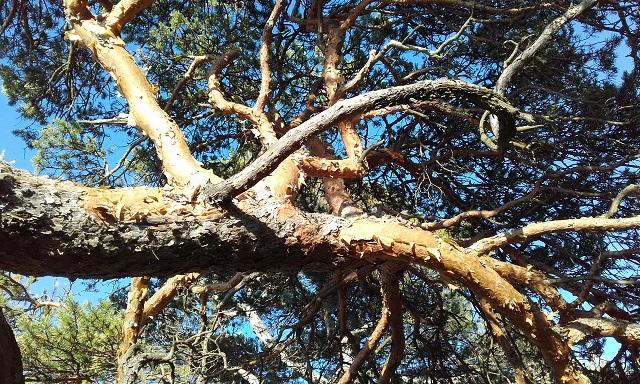 Pinus sylvestris - pin sylvestre - Page 2 20170721
