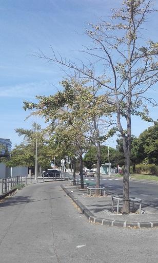 Ginkgo biloba - arbre aux quarante écus - Page 5 20170812