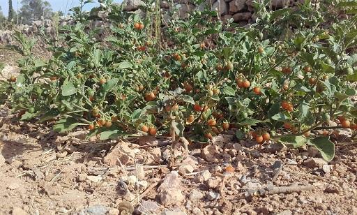 Solanum villosum - morelle velue, morelle jaune 20170818