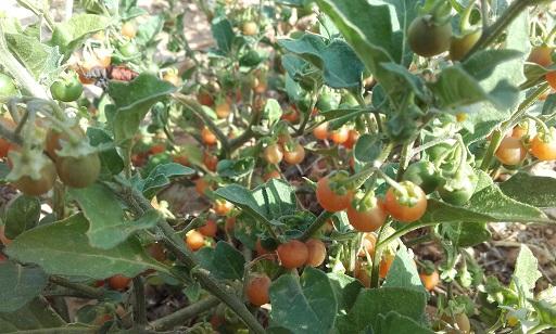 Solanum villosum - morelle velue, morelle jaune 20170819