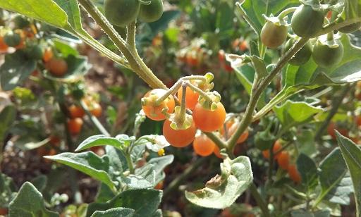 Solanum villosum - morelle velue, morelle jaune 20170820