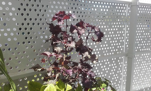 Perilla frutescens - shiso 20170915