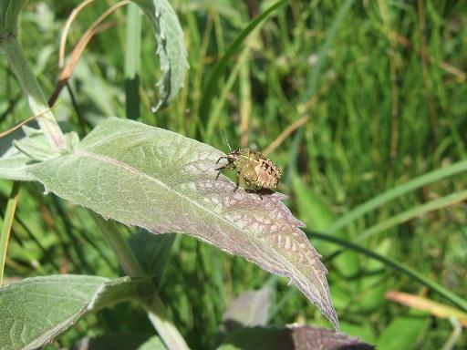 Mentha longifolia - menthe à feuille longue  Dscf0313