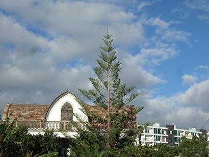 Araucaria heterophylla - pin de Norfolk Dscf0713
