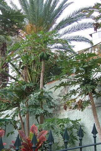 Carica papaya - papayer Dscf0718