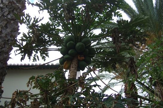 Carica papaya - papayer Dscf0719