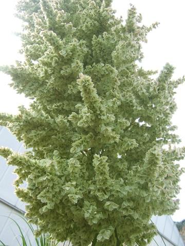 Beaucarnea recurvata - (ex Nolina recurvata) Dscf0812