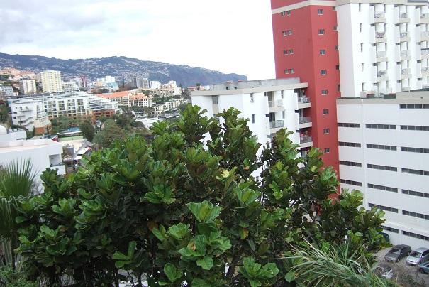 Ficus lyrata - figuier lyre Dscf0910