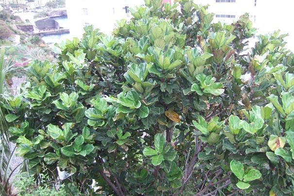 Ficus lyrata - figuier lyre Dscf0911