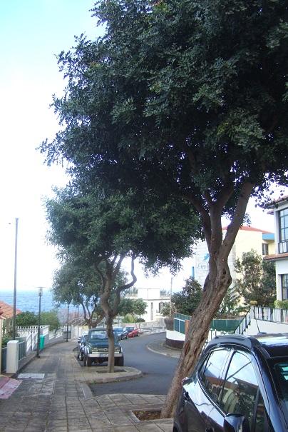 Ceratonia siliqua - caroubier Dscf1122