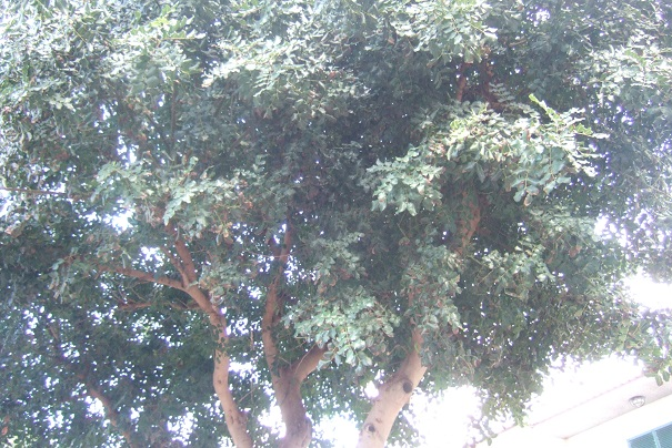 Ceratonia siliqua - caroubier Dscf1123