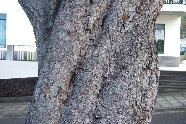 Ceratonia siliqua - caroubier Dscf1124