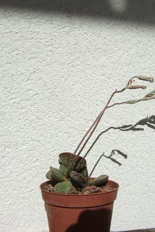 adromischus maculata - Adromischus trigynus Dscf1713