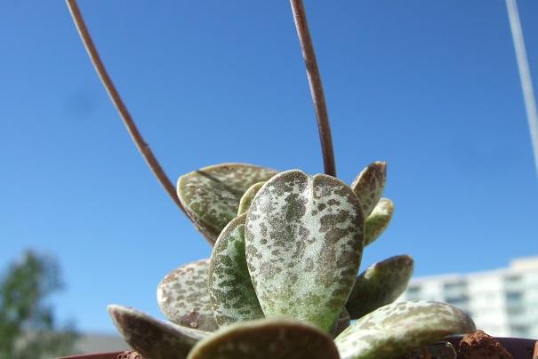 adromischus maculata - Adromischus trigynus Dscf1715